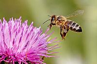 http://en.wikipedia.org/wiki/Bee