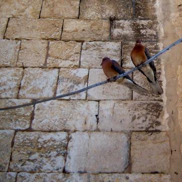 Jerusalem pigeons