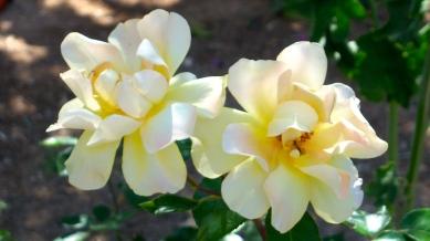 Gethsemane orchid