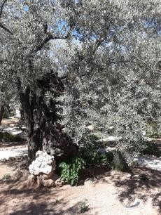 Gethsemane olive tree