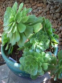 Carmel succulent