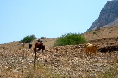 An Arbel herd