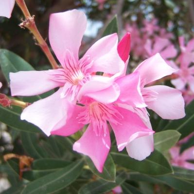 Galilee flowers, again.